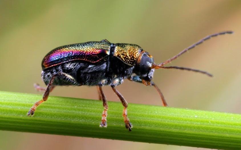 Aporocera viridis - fem MtDndng251013 (3)