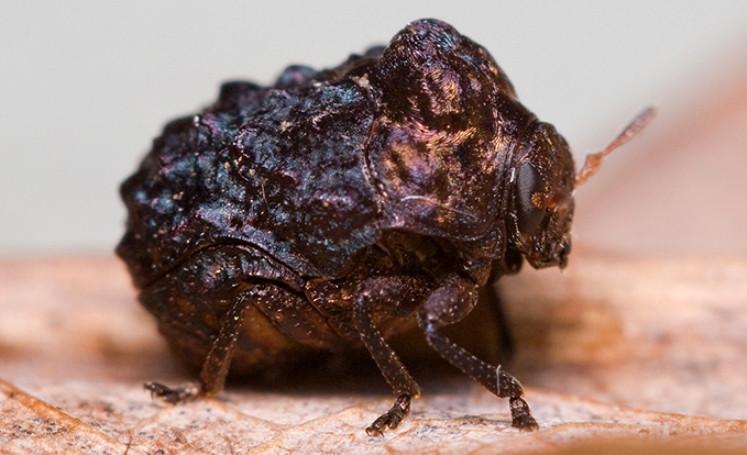 bumpy_beetle_david
