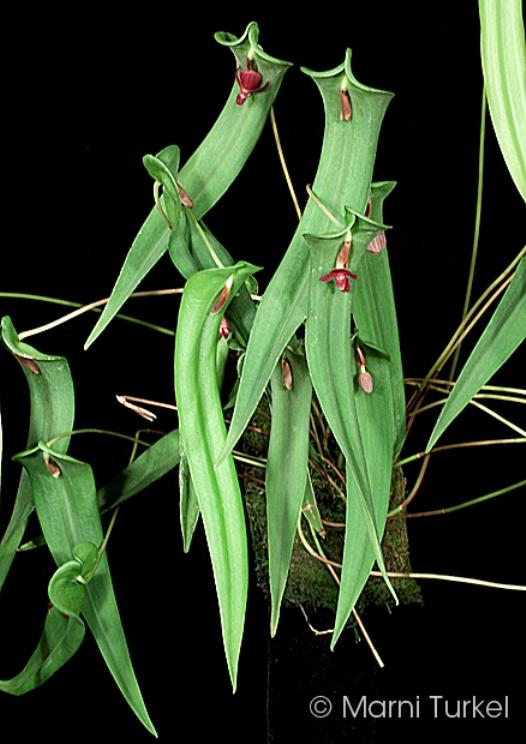pl.cardiostola.plant