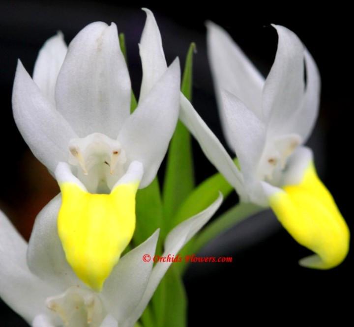 thai-orchid-pecteilis-sagarikii