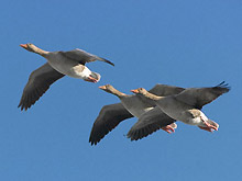 Дикие гуси во время весеннего перелета с юга на север. Фото interfax.by