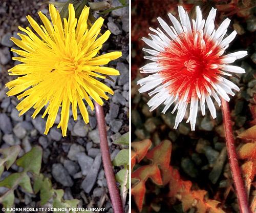 цветок одуванчика в видимом и ультрафиолетовом спектрах света. Фотография с сайта http://dobrochan.ru/