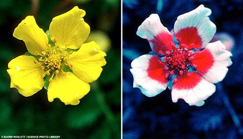 цветок лапчатки гусиной в видимом свете и ультрафиолете. Фотографии с сайта www.naturfotograf.com