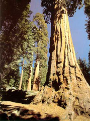 Гигантские секвойи в Национальном парке Секвойя. Фото взято из сайта http://nature.worldstreasure.com/miracle.asp?id=67