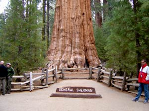 Национальный Парк Секвойя (Sequoia National Park): 'Генерал Шерман' - одна из самых крупных гигантских секвой, самых массивных и старых деревьев в мире (sequoia, California redwood, Sequoiadendron, секвойядендрон, мамонтово дерево), Калифорния, США. Фото взято из сайта http://www.americaonline.ru/sequoia.htm