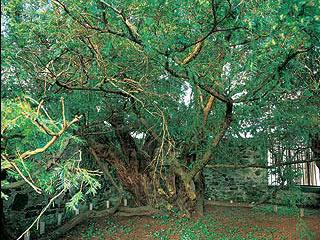 Тис Фортингэл возрастом более 3000 лет. Фото взято из сайта Telegraph Media Group - http://www.telegraph.co.uk/