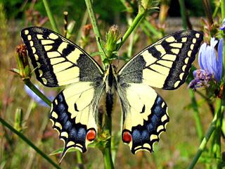 парусник бабочка фото