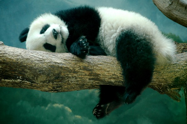 panda_at_the_zoo_by_stealthbeetle