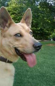 German shepherd/basenji pup for adoption in midtown ...