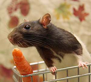 rat_Radeo_web_edited-1