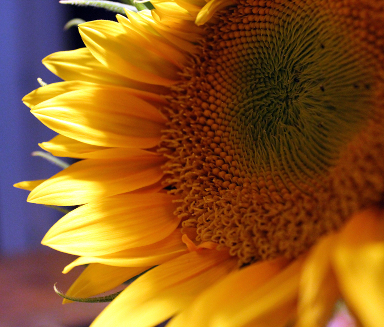 June sunflower for LJ_edited-2