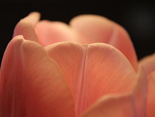 flower tulip  web