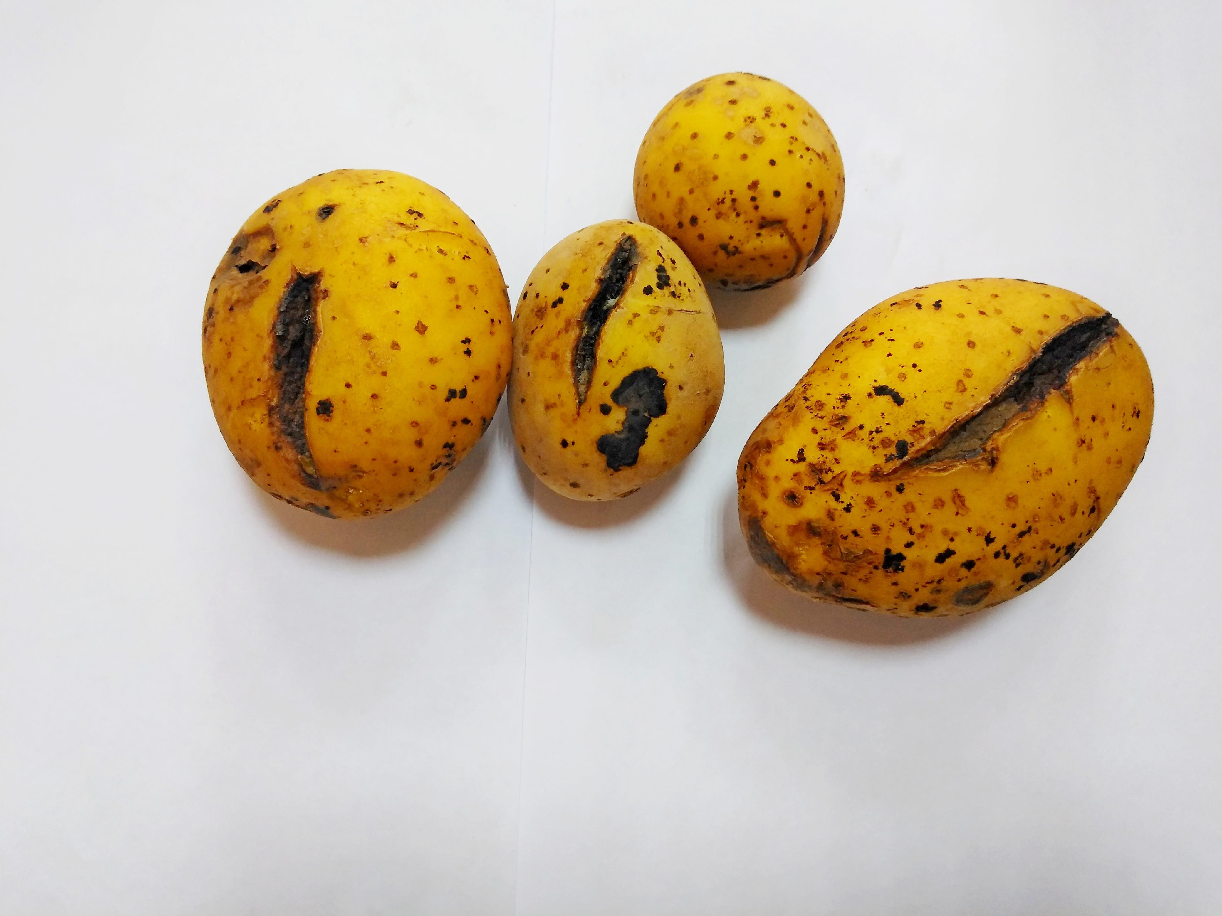 Картофель сорт Мадера растрескивание