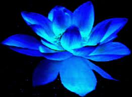 bluedarklotus