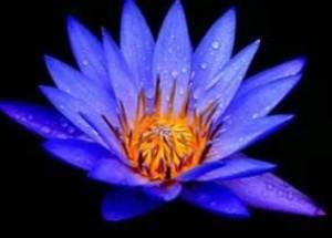 bluelotus4