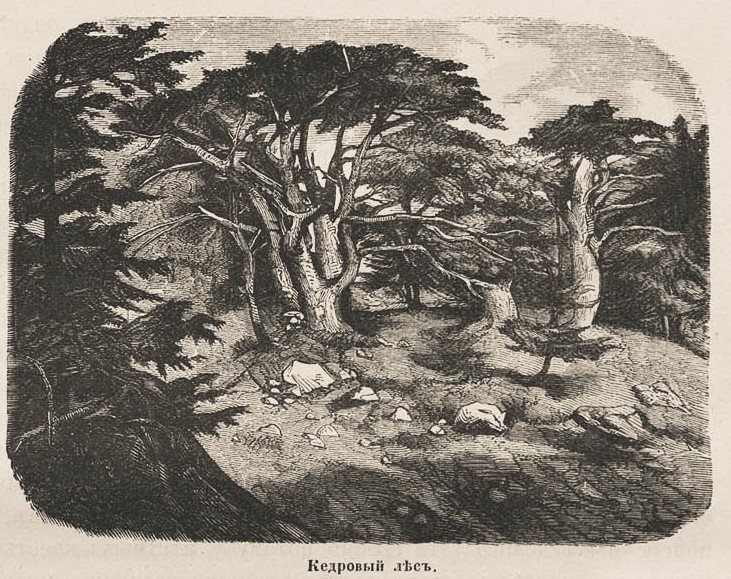 шишкование 4кедровый лес1