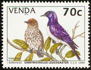Violet-backed-Starling----Cinnyricinclus-leucogaster