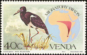 Abdim--s-Stork----Ciconia-abdimii