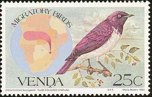 Violet-backed-Starling----Cinnyricinclus-leucogaster (1)