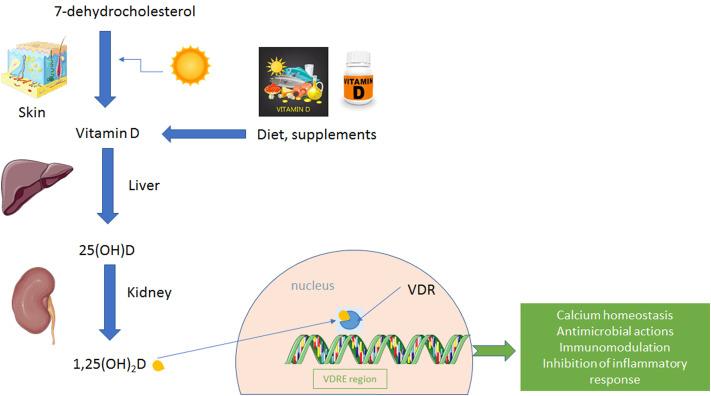 Рис. 1 . Метаболизм и сигнализация витамина D. Витамин D3 (холекальциферол) вырабатывается в коже из 7-дегидрохолестерина при воздействии УФ-В-света. Витамин D2 (эргокальциферол) получают из растительного стерола эргостерина. Витамин D метаболизируется сначала в печени до 25-гидроксивитамина D (25 (OH) D, кальцидиол), затем в почках до активного метаболита 1,25-дигидроксивитамина D (1,25 (OH) 2 D, кальцитриол). 1,25 (ОН) 2D проникает в ядро клетки, где связывается с рецептором витамина D (VDR). VDR связывается с участками ДНК, называемыми элементами ответа на витамин D (VDRE). Конечным результатом является регуляция экспрессии генов, приводящая к различным функциям витамина D, таким как поддержание гомеостаза кальция, антимикробное и иммуномодулирующее действие и ингибирование воспалительной реакции.
