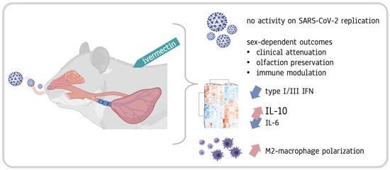 C19, вызванный SC0V2, вызывает симптомы со стороны дыхательных путей и легких, а в тяжелых случаях может привести к респираторной недостаточности и смерти. Это исследование показывает, что модуляция воспалительного ответа хозяина с использованием иве в качестве перепрофилированного препарата, независимо от вирусной нагрузки, значительно снизила клиническую оценку и тяжесть заболевания (включая аносмию), наблюдаемых у золотых хомяков, инфицированных SC0V2. Это исследование доказывает, что химическая терапия с использованием иве может сохранить клиническое состояние, модулируя воспалительную реакцию, даже без противовирусной активности. Клиническая картина напрямую связана с воспалением, а не обязательно с вирусной нагрузкой. Химическая терапия иве вызывает зависимый от пола и разделенный на части ответ, предотвращая клиническое ухудшение и уменьшая обонятельный дефицит. Иве ограничивает ответ нескольких сигнальных путей, связанных с интерфероном типа I / III, активацией цитокинов и популяцией воспалительных клеток в инфицированных легких. Уменьшение соотношения Il-6 / Il-10 в легких может объяснить более благоприятную клиническую картину. Животные, получавшие иве, показали M2-поляризацию миелоидных клеток, рекрутированных в легкие.