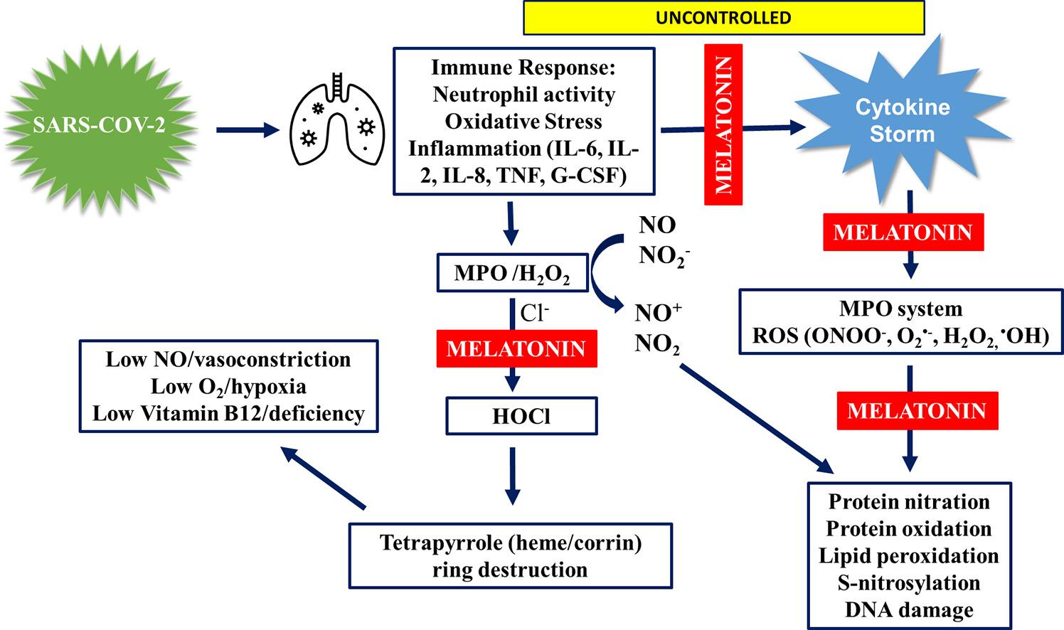 Предлагаемый путь инфекции SC0V2, связанный с неконтролируемым иммунным ответом и цитокиновым штормом, генерирующим MPO и ROS, приводящий к снижению NO и вазоконстрикции, снижению O 2 и гипоксии, а также дефициту витамина B12 за счет разрушения тетрапиррольного кольца и профилактике мелатонином .