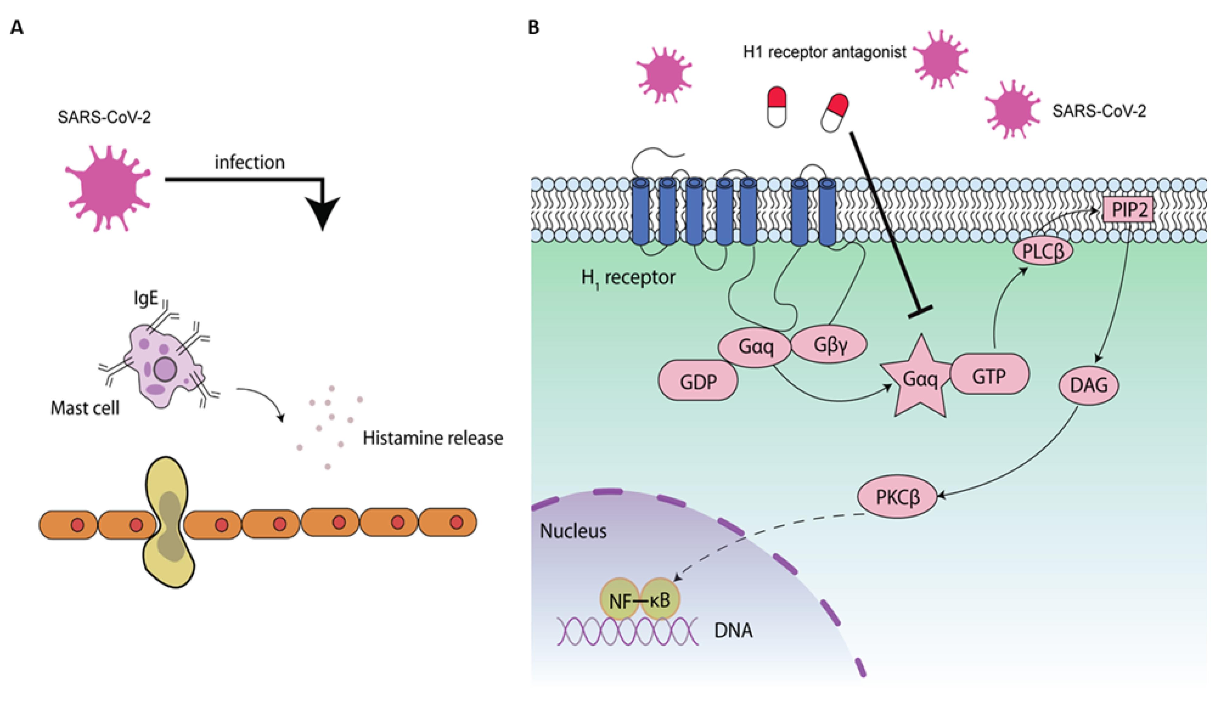 Рисунок 2. Возможные противовирусные механизмы антагонистов рецептора H1 на КВ2. Инфекция КВ2 приводит к высвобождению гистамина ( A ) и активирует передачу сигналов NF-κB ( B ), что приводит к усилению воспалительного ответа для облегчения его репликации [ 81 ]. Опосредованная гистамином передача сигналов NF-κB была связана с активацией вышестоящей фосфолипазы C (PLC) и протеинкиназы C (PKC) [ 82 ]. Активация NF-κB гистамином может блокироваться антагонистами рецептора H1 [ 83 ]. Антагонисты рецептора H1 могут ингибировать передачу сигналов NF-κB посредством зависимых от рецептора H1 или независимых механизмов
