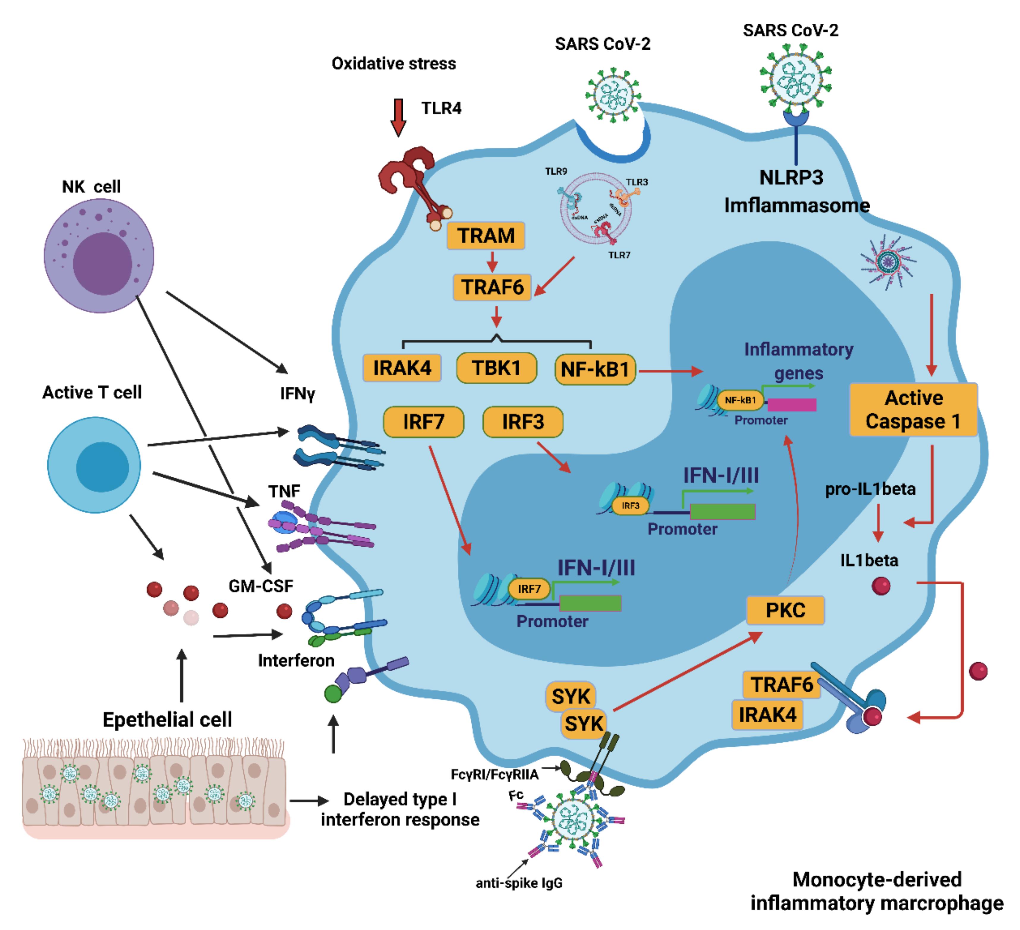 Рисунок 1. Активация макрофагов, происходящих из моноцитов, при C19. Несколько механизмов вызывают чрезмерную активацию моноцитов / макрофагов во время инфекции SC0V2. Задержка выработки IFN I приводит к продолжающемуся привлечению циркулирующих моноцитов в паренхиму легких. Активированные NK- и Т-клетки также способствуют инфильтрации клеток, происходящих из моноцитов. Обнаружение вируса может вызвать активацию TLR7 в результате распознавания вирусной одноцепочечной РНК. IFN I увеличивает экспрессию рецептора входа SC0V2 ACE2, позволяя вирусу проникать в макрофаги и активировать цитоплазматическое воспаление через NLRP3. Комбинация иммунного комплекса, содержащего антиспайковый белок IgG, с рецептором Fcγ (FcγR) на активированных макрофагах дополнительно способствует аберрантному проникновению вируса и вызывает воспалительный каскад. CCL: CC-хемокиновый лиганд; CXCL10: CXC-хемокиновый лиганд 10; ISG: ген, стимулированный интерфероном; ITAM: мотив активации иммунного 06-рецептора тирозина; TRAM: связанная с TRIF адаптерная молекула; Н.К., натуральный убийца.