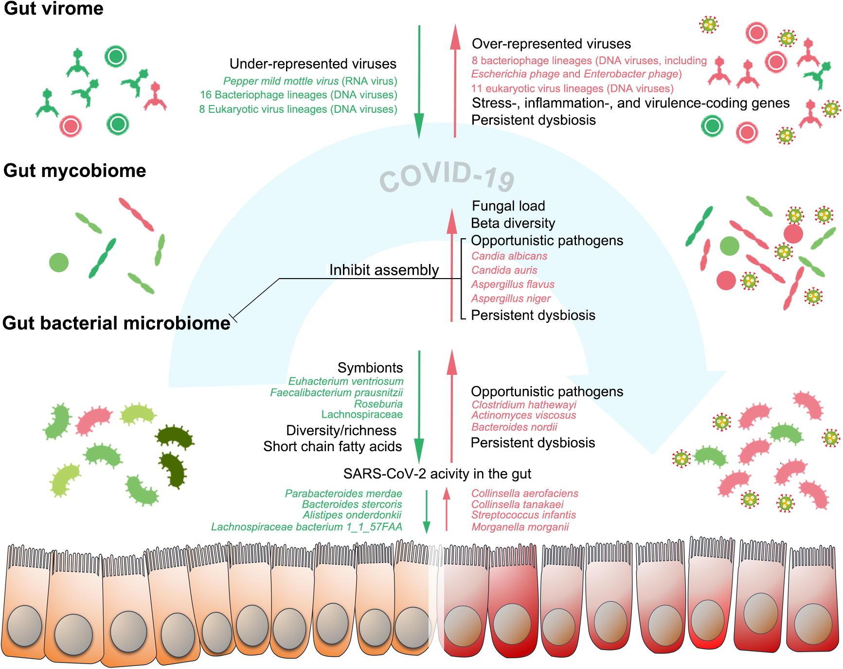 Рисунок 1 . Изменения кишечного бактериального, грибкового и вирусного микробиома у пациентов с C19. Бактериом кишечника при C9 характеризуется уменьшенным разнообразием и богатством, а также стойким бактериомным дисбиозом даже после излечения болезни. Микобиом кишечника при C19 характеризуется повышенной фекальной грибковой нагрузкой и повышенным бета-разнообразием (более гетерогенным). Микобиом кишечника при C19 нестабилен с течением времени, а также постоянно изменяется после разрешения болезни. SC0V2 проявляет инфекционность в кишечнике. Отложенный SC0V2 выделение вируса и стойкий дисбактериоз кишечного вирома присутствуют после разрешения болезни. Эпителиальный барьер желудочно-кишечного тракта нарушен у части пациентов с C19