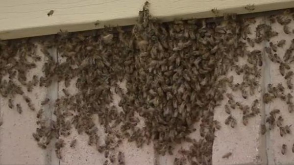 Budget Bee Removal.jpg