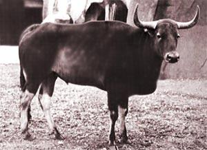 Бантенг – воплощение грации среди быков | 218x300