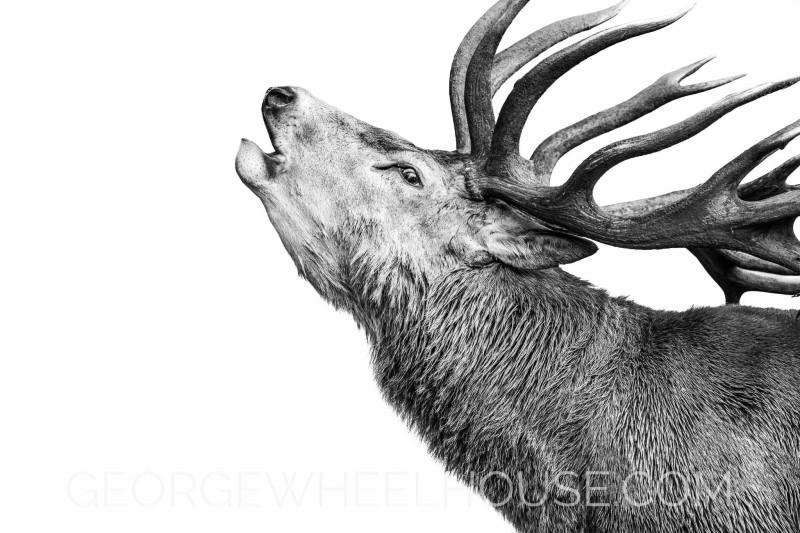Red-Deer-Roar