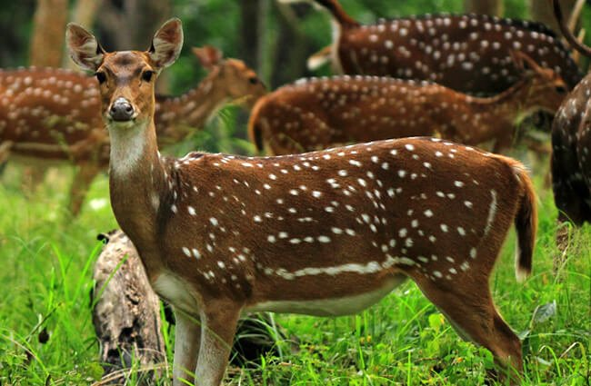 Axis-Deer-6-650x425