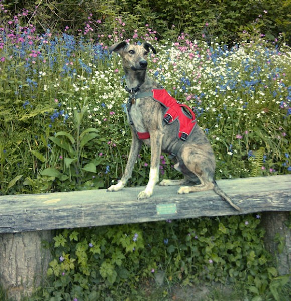 Lurcher and Wildflowers
