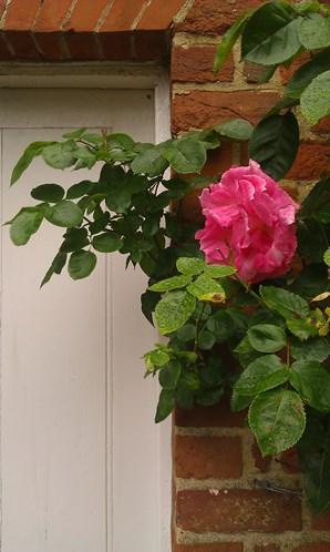 26 2014-05-28 Wimpole Rose