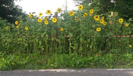 94 2014-08-05 01Sunflowers