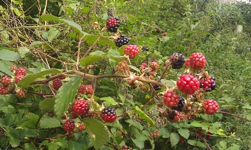 2014-08-13 01Blackberries
