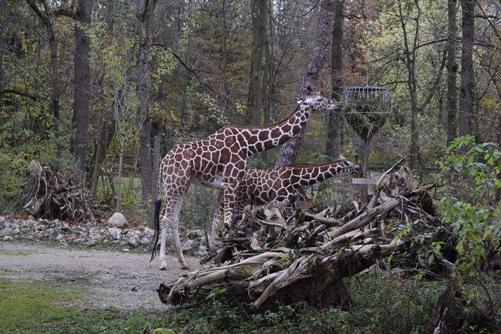 2016-11-05 03Giraffes