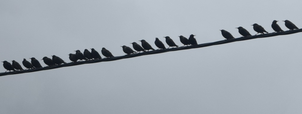 DSC_3732 2017-03-04 BirdsOnTheWire
