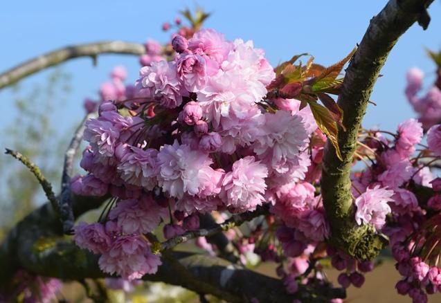 DSC_4122 2017-04-06  SpringBlossom