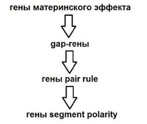 segment_polarity04