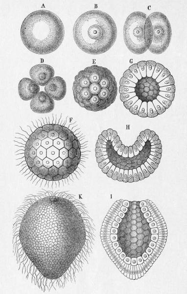 Ontogenetic-series-from-monerula-A-cytula-B-morula-E-blastula-F-G-to.png