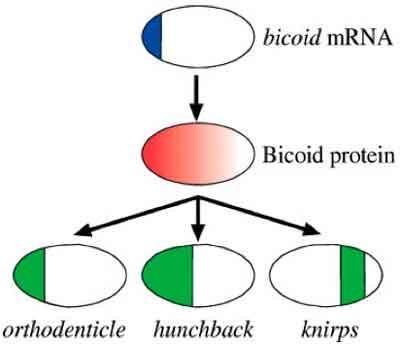 bicoid01