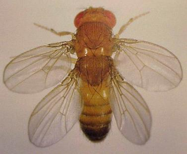 tetraptera02