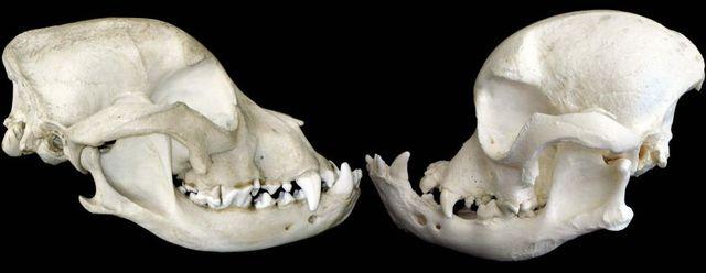 Old vs new bulldog skulls