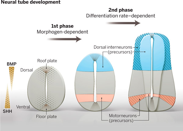 coordination_of_progenitor_specification_and_growth_in_spinal_cord_1_600