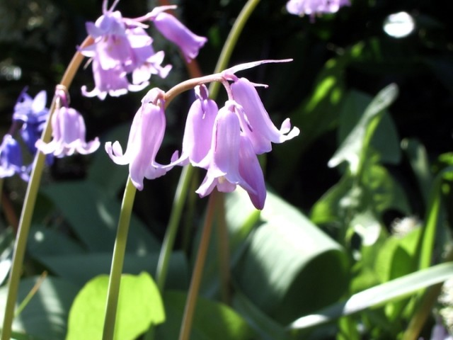 Purple dangly flowers, bluebells?