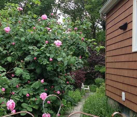 roseBushEAT
