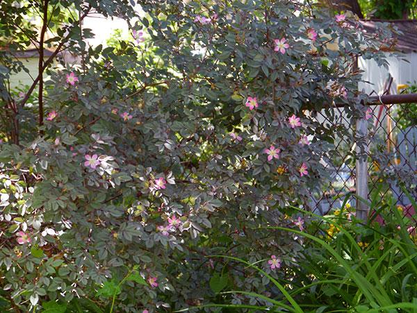 rosaRubifoliaGlauca