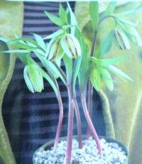 greenfritillary